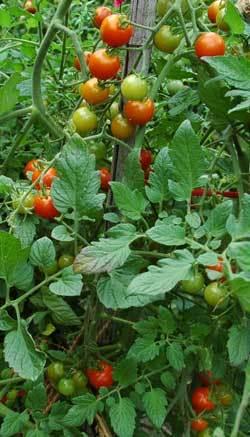 ミニトマト090716wb.jpg