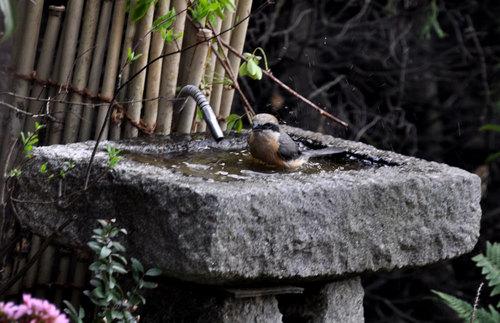 モズ201104水浴び1wb.jpg