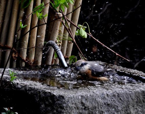 モズ201104水浴び2wb.jpg
