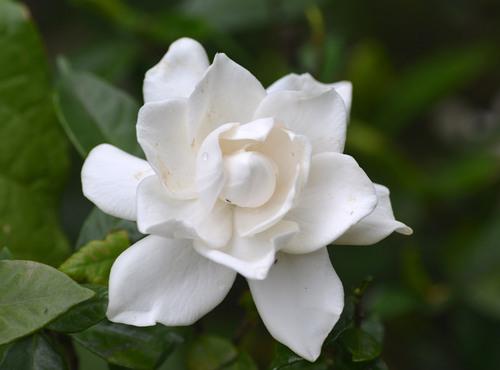 ヤエクチナシ花盛りwb.jpg