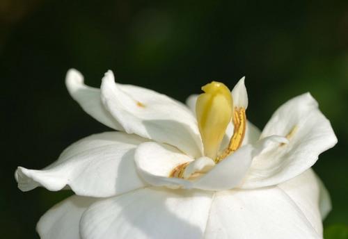 ヤエクチナシ花粉3wb.jpg