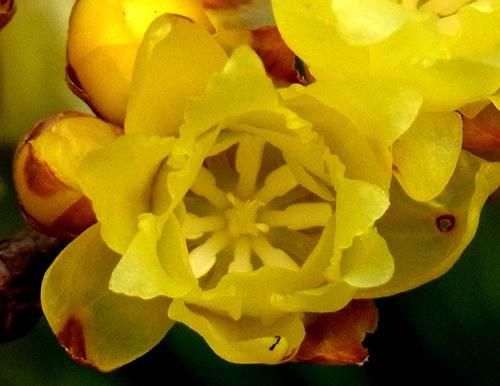 ロウバイ花2種wb.jpg