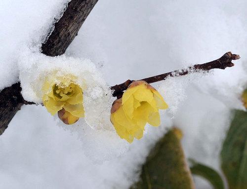 ロウバイ雪2014-3wb.jpg
