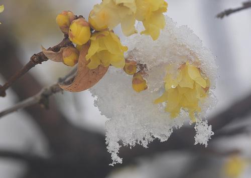 ロウバイ雪2wb.jpg