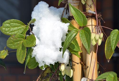 冬咲きクレマチス2014雪wb.jpg