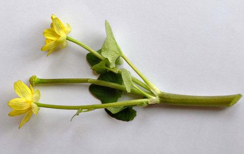 大型1茎cutwb.jpg