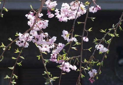 桜10-4wb.jpg
