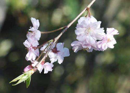 桜10-5wb.jpg