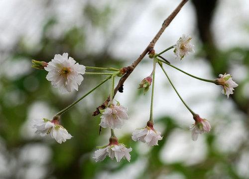 桜1013wb.jpg
