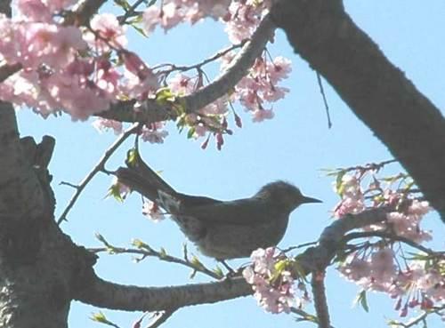 桜とヒヨドリ2wb.jpg