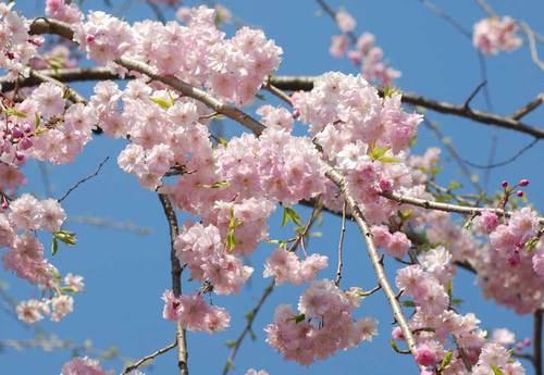 桜満開1wb.jpg