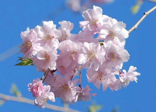桜満開3wb.jpg