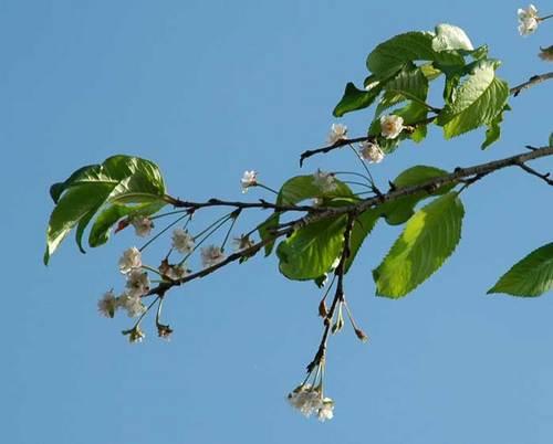 桜返り咲きwb.jpg