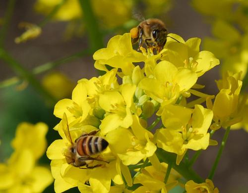 菜の花蜜蜂2wb2.jpg