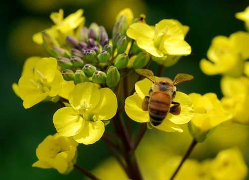 菜の花蜜蜂5wb.jpg