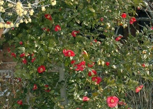 蝋梅と椿wb.jpg