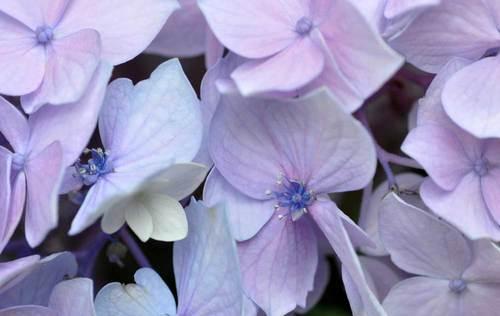 装飾花両性花1wb.jpg