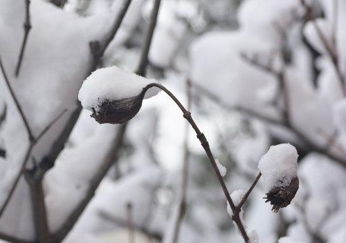 雪ナツツバキ実wb.jpg