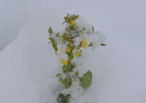 雪ナバナwb.jpg