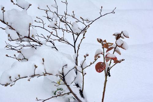 雪ブルーベリーwb.jpg.jpg