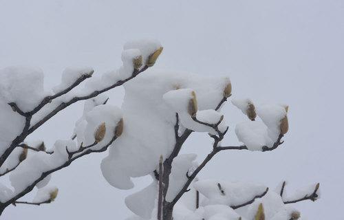 雪モクレンwb.jpg